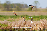00722-02613 Blue-winged Teal (Anas discors) in flight at wetland, Marion Co., IL