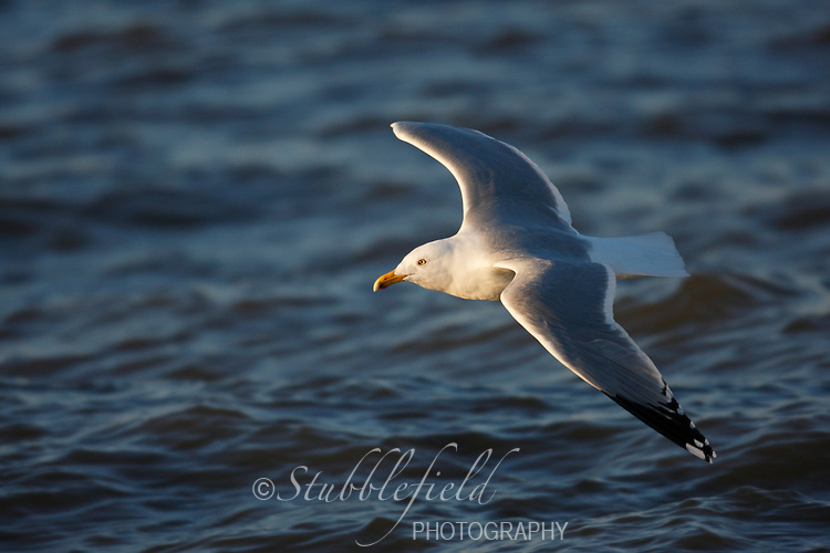 Herring Gull (Larus argentatus smithsonianus), adult in breeding plumage in flight over ocean at sunrise