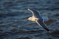 Herring Gull (Larus argentatus smithsonianus), adult in breeding plumage in flight over ocean at sunrise