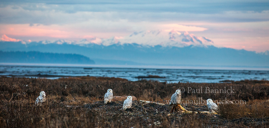 Five Snowy Owls roost on a Pacific Northwest beach with Mount Baker looming int he background.