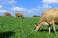 DEUTSCHLAND, , Versuchsgut Lindhof der UNI Kiel, Forschungsschwerpunkt ökologischer Landbau und extensive Landnutzungssysteme, Erforschung optimale Weidehaltung von Milchkuehen, z.Z. Jersey Kuehe