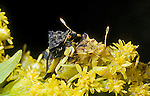 Ambush bugs mating.