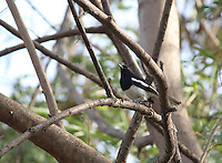 A beautiful Oriental magpie robin sitting on a tree branch in forest