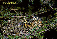RO06-005z  American Robin - feathered young in nest - Turdus migratorius