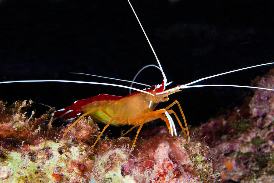 A close look at a scarlet cleaner shrimp, Lysmata amboinensis,  Hawaii.