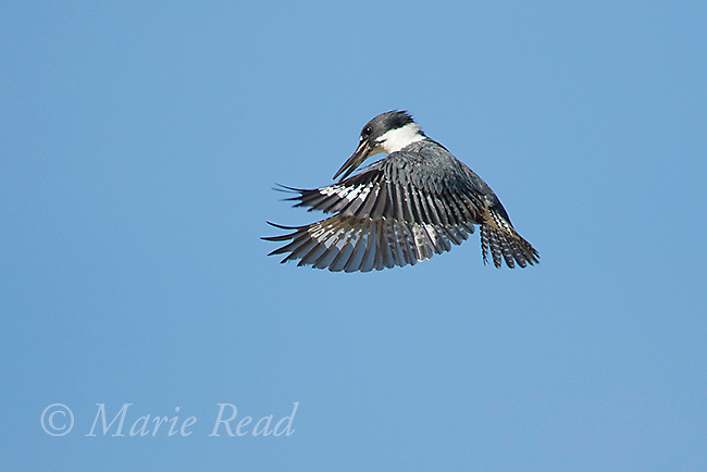 Belted Kingfisher (Ceryle alcyon) male hovering watching for fish below, Salmon Creek, Lansing, New York, USA