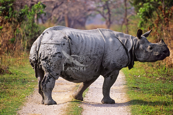 Greater Indian Rhinoceros or Asian One-horned Rhinoceros (Rhinoceros unicornis), Kaziranga National Park, India.  Crossing Park road.