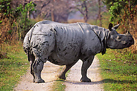 Greater Indian Rhinoceros or Asian One-horned Rhinoceros (Rhinoceros unicornis), Kaziranga National Park, India.  Crossing Park road.