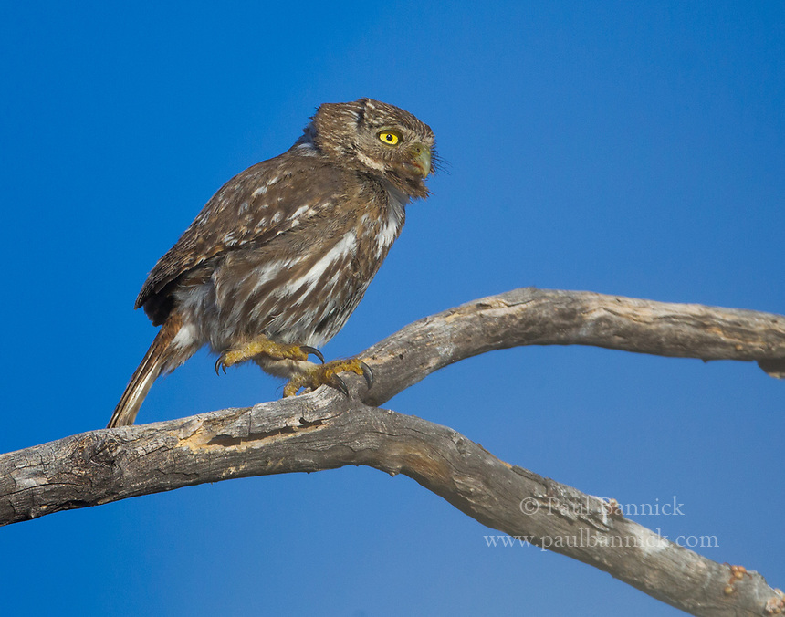 Cactus Ferruginous Pygmy-Owls have very large feet relative, a good hint that they frequently target large prey. (Arizona)