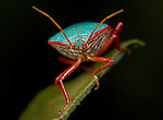 Shield Bug, Family: Pentatomidae, Costa Rica, green, red, tropical jungle, portrait.Costa Rica....