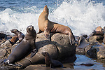 La Jolla, California; several California Sea Lions resting on the rocks at the edge of the Pacific Ocean as waves crash behind them in late afternoon sunlight