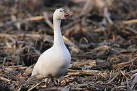 """Greater"" Snow Goose (Chen caerulescens) vocalizing while foraging in an agricultural field during migration. Montezuma NWR, New York. March."
