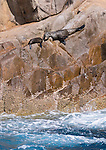 Australian Fur Seals on Cabbage Tree Island. Seen during a cruise on Tamboi Queen, Nelson Bay, Port Stephens, NSW, Australia