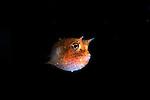 Yellow Boxfish larvae stage.Ostracion cubicus.Celebes Sea
