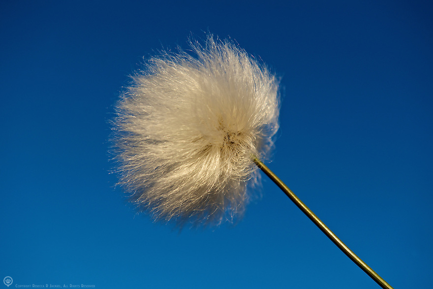 Beautiful arctic tundra grass called Cottongrass - similar to the North American dandelion and cattail.