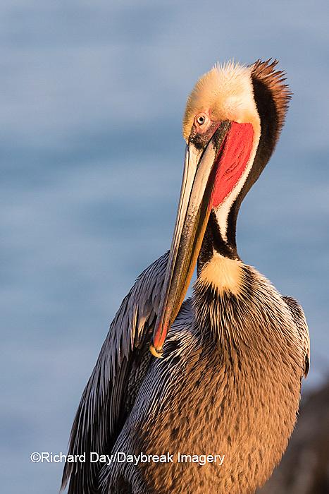 00672-00713 Brown Pelican (Pelecanus occidentalis), La Jolla cliffs, La Jolla, CA