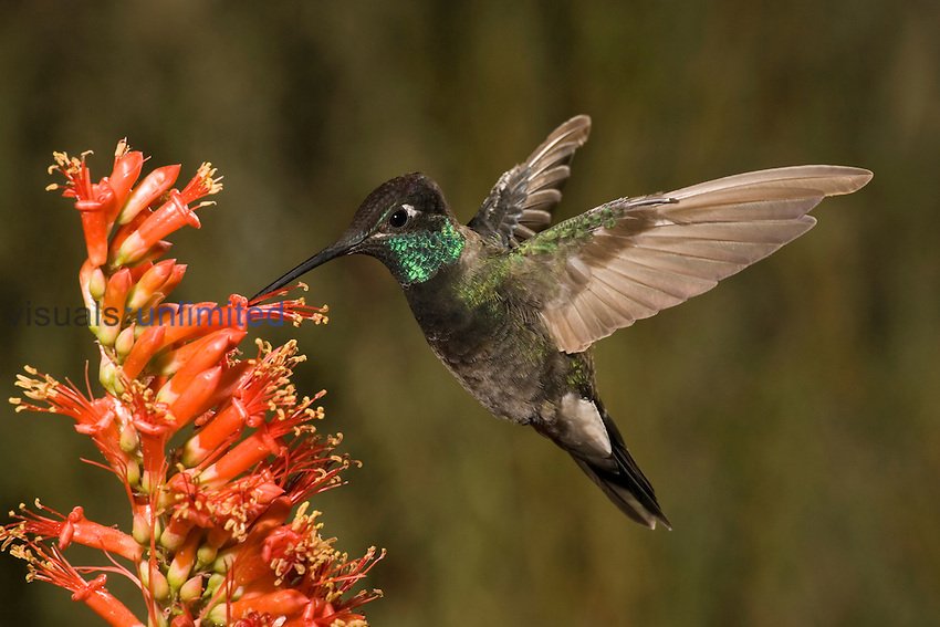 Magnificent Hummingbird male (Eugenes fulgens) feeding on Ocotillo flowers (Fouquieria splendens), Southern Arizona, USA.
