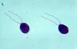 Green Algae (Chlamydomonas). LM X150
