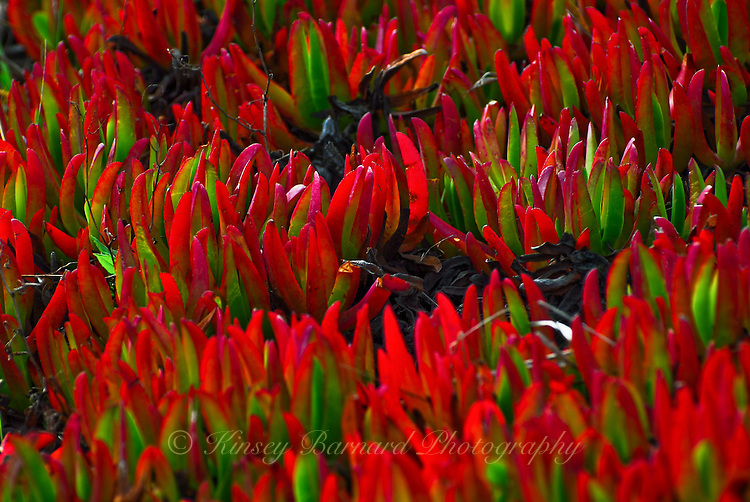 Bright red ice plant