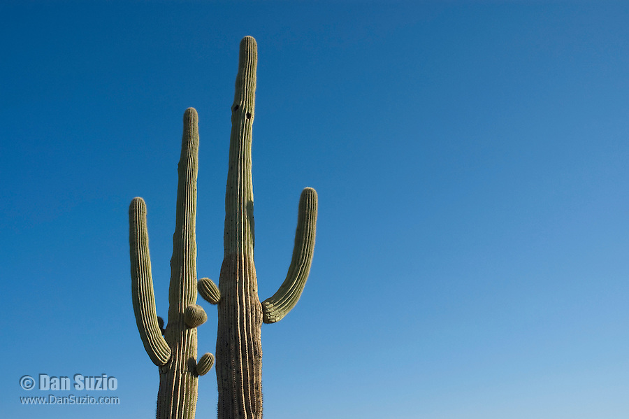 Saguaro cactus, Carnegiea gigantea (Cereus giganteus) Organ Pipe Cactus National Monument, Arizona.