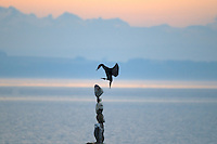 Perching cormorant in the morning light