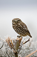 Little Owl, Athene noctua, in hedgerow in The Cotswolds, Gloucestershire