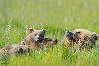 Mother Brown Bear (Ursus arctos) nursing her two spring cubs in the tall grass of the meadow at Lake Clark National Park, Alaska. Cub on the top and Mother Bear take a break, but the cub on the bottom is sill going strong.