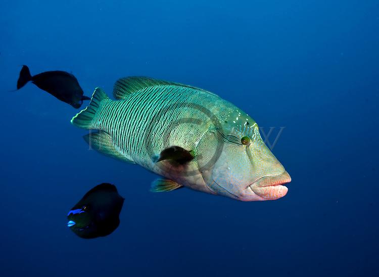 Wrasse; Cheilinus undulatus; Maldives; atolls; islands; tropics; sea life; fish life; holiday; lifestyle; Indian Ocean; blue sky; lagoon; coral reefs