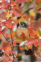 American Robin, Turdus migratorius, male in Black Hawthorn (Crataegus douglasii) fallcolors snow, Grand Teton NP,Wyoming, USA