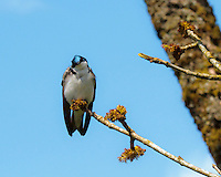 A Tree Swallow (Tachycineta bicolor) sits on a thin branch with head tilted looking at viewer with a curious look against a blue sky background.