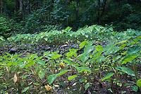 Historic Taro Patch w/ stone terrace along the Pipiwai hiking trail, Haleakala National Park, Kipahulu, Maui