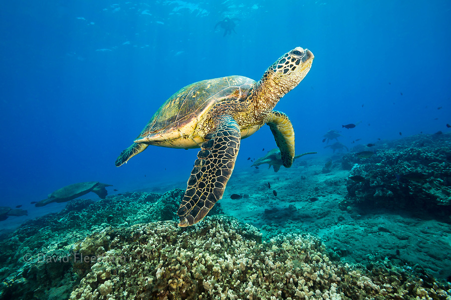 These green sea turtles, Chelonia mydas, an endangered species, are gathering at a cleaning station off Maui, Hawaii.