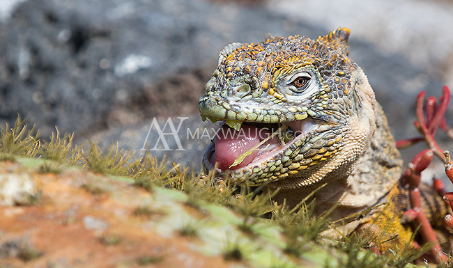 Large and colorful land iguanas roam the Galapagos Islands.
