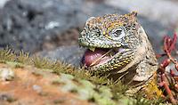 Large and colorful land iguanas roam the Galapagos Islands.