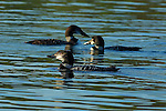 Common Loons, Molting from Breeding to Non-Breeding Plumage, Great Northern Loon, Wolfeboro Bay, Wolfeboro NH