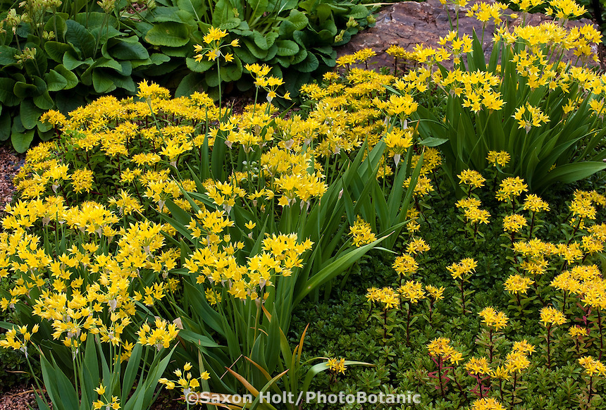 Yellow flowering ornamental onion, (Allium ostrowskianum) Ostrowsky Onion bulb in garden  with Bailey's Gold Stonecrop (Sedum kamtschaticum v. floriferum) 'Weihenstephaner Gold' groundcover