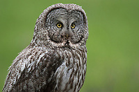 Great Gray Owl (Strix nebulosa). Grand Teton National Park, Wyoming. May.