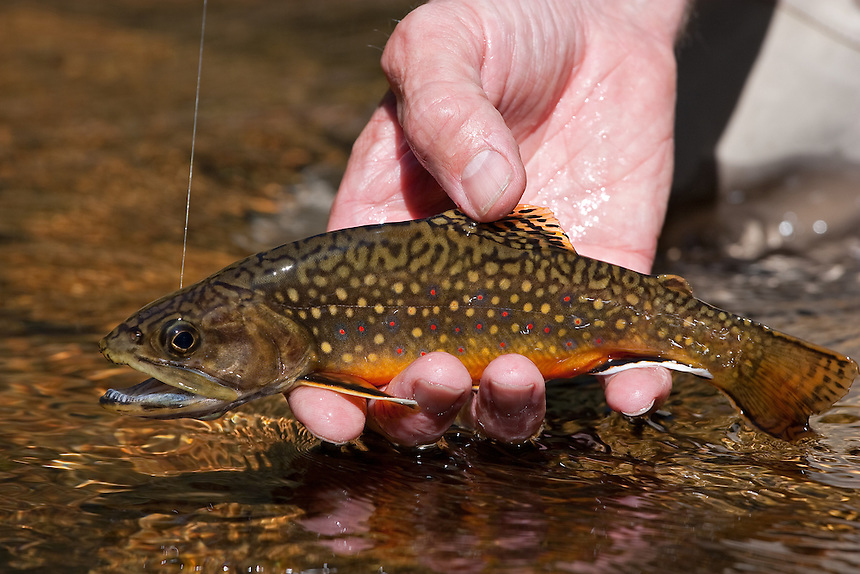 Brook Trout Heading Home In Rocky Mountain National Park Colorado