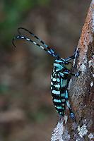 Longhorn Beetle<br /> Borneo, Kinabalu Park