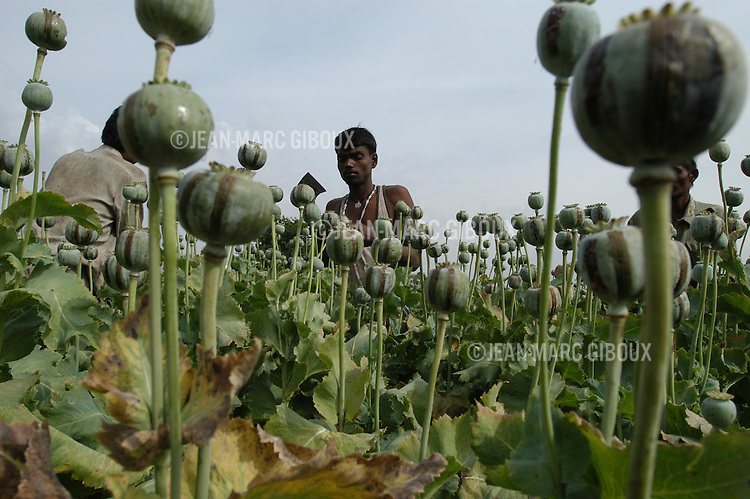 Opium harvest in a village of the Chittorgarh area of Rajasthan. The opium production is legal and tighly controlled by the Indian Government for medicinal and pharmaceutical use . It's long been a tradition in some parts of Rajasthan to cultivate opium and offer it to guests as a welcome greeting. Chittorgarh, Rajasthan, India - March 2005 (Photo by Jean-Marc Giboux)