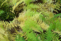 Dennstaediana punctiloba  Ferns in autumn fall foliage color Hay-scented fern Dennstaedtia punctilobula