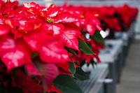 A small portion of one of five greenhouses in Orange Coast College's Horticulture Department that are filled with poinsettias being grown for their annual 2011 poinsettia sale.  This image focuses on a single ice punch poinsettia, highlighting how the red and white leaves are nothing more than bracts - colored leaves grown near a flower.  The actual flowers are the green, red, and yellow structures at the top of the plant (end of the stem).