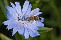 Honigbiene, Honig-Biene, Biene, Apis mellifera, Apis mellifica, Blütenbesuch auf Wegwarte, Nektarsuche, Blütenbestäubung, Pollenhöschen, honey bee, hive bee, Cichorium intybus, Chicory