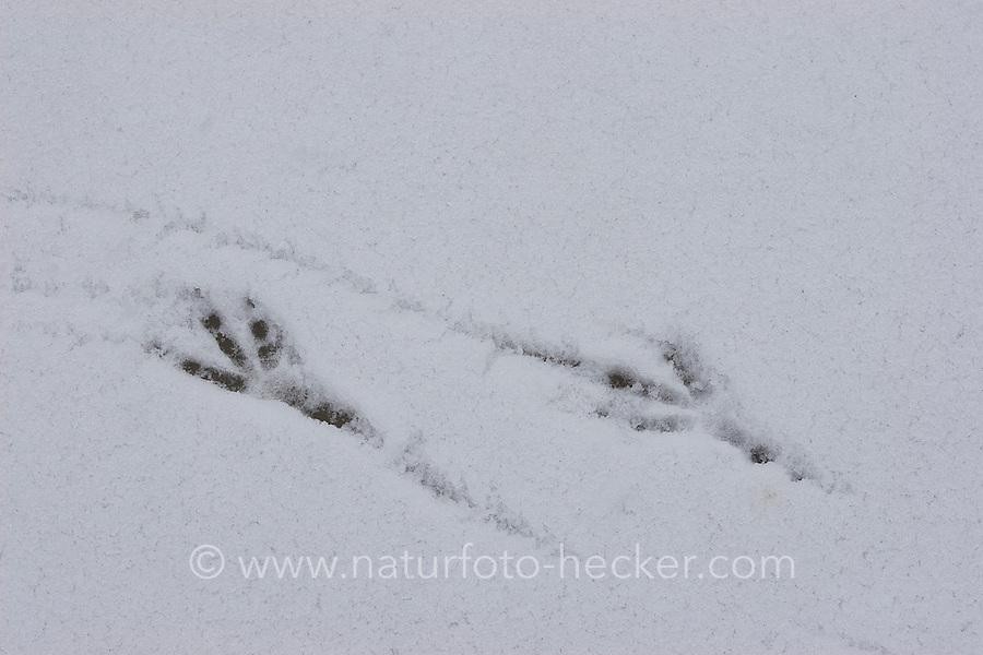 Amsel, Schwarzdrossel, Schwarz - Drossel, Fußabdruck, Fuss - Abdruck, Spur im Schnee, Turdus merula, Blackbird
