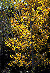 Trembling aspen trees, autumn, Populus tremuloides