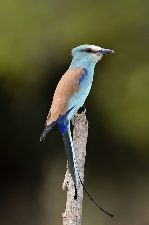 Abyssinian Roller - Coracias abyssinicus