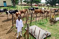 KENYA, County Kakamega, Bukura, ATDC Agricultural Technology Development Center, milk cows and mobile biogas plant from REHAU company / KENIA, mobile REHAU Biogasanlage, Milchkuehe