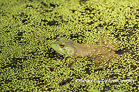 02471-00607 American Bullfrog (Lithobates catesbeianus) in pond with duckweed Marion Co. IL
