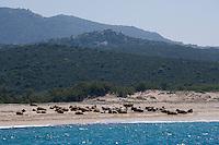 Europe/France/2A/Corse du Sud/ Murtoli: le Golfe de Roccapina les vaches sont sur la plage! pour éviter les insectes.