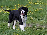 SH25-787z English Springer Spaniel Dog running